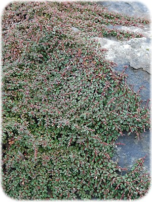 Cotoneaster_cong_49920791db6d8.jpg