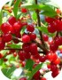 nanking-cherry-fruit-600x600